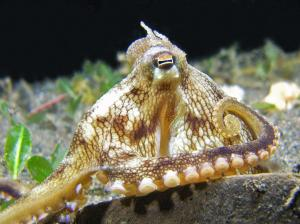 coconut octopus (1)