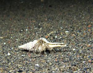 hermit crab 1 (1)