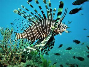 lionfish 3 (1)